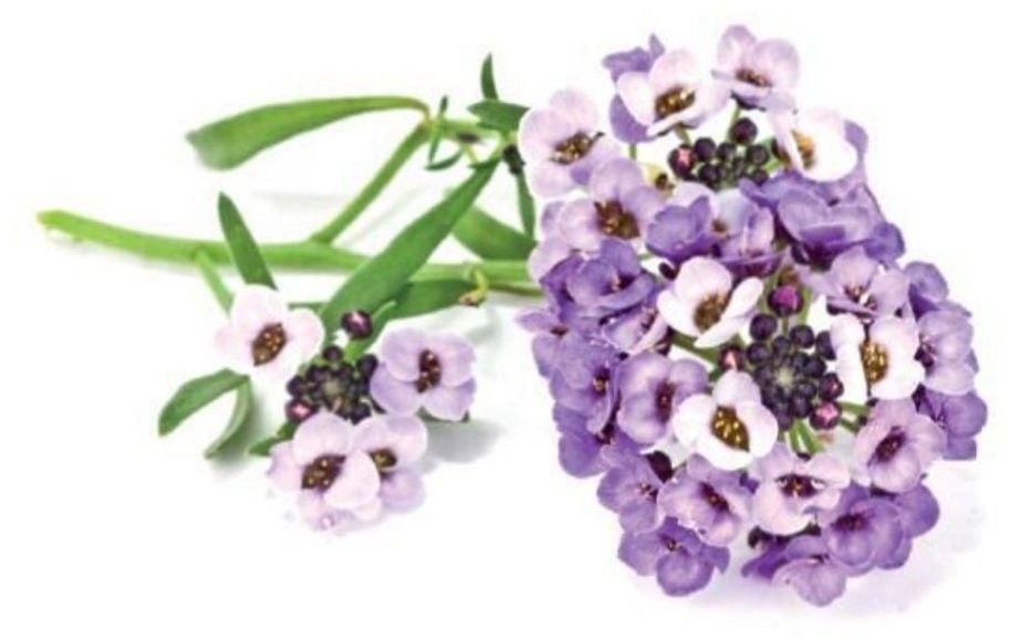 Click And Grow Smart Garden Refill Blommor 3-pack - Blåklint
